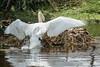 Mute Swan climbing back into its nest