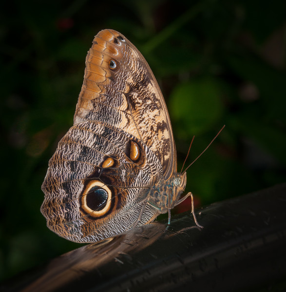 • Location - Butterfly World<br /> • Owl Butterfly