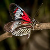 • Location - Butterfly World<br /> • I need help to ID this butterfly
