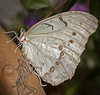 • Location - Butterfly World<br /> • White Morpho