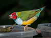 • Location - Butterfly World<br /> • Gouldian Finch