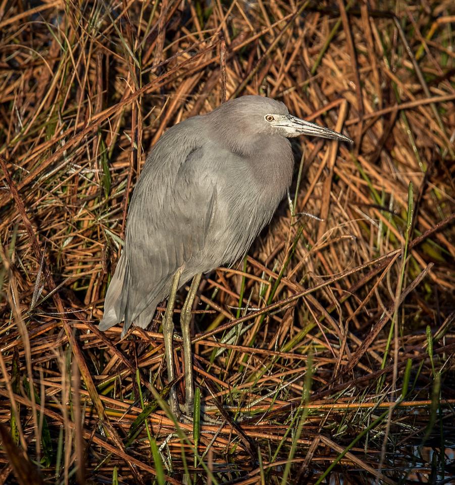 • Location- Location - A-R-M Loxahatchee National Wildlife Refuge<br /> • Little Blue Heron