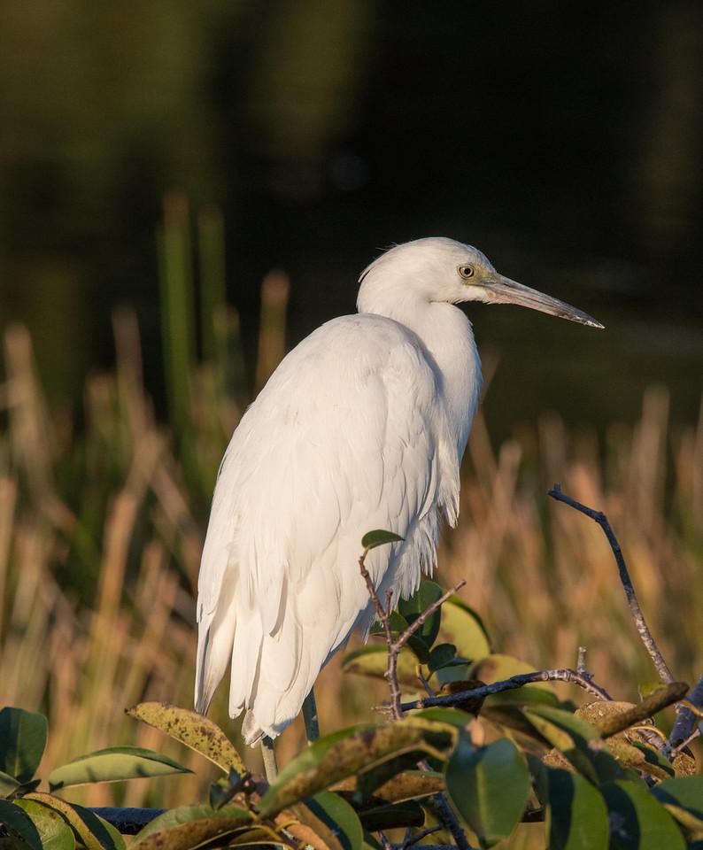 • Location -Wakodahatchee Wetlands<br /> • Immature Little Blue Heron