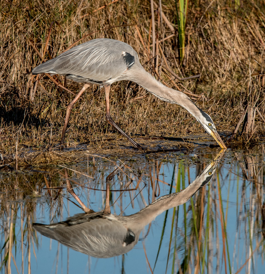 • Location- Location - A-R-M Loxahatchee National Wildlife Refuge<br /> • Great Blue Heron with its reflection