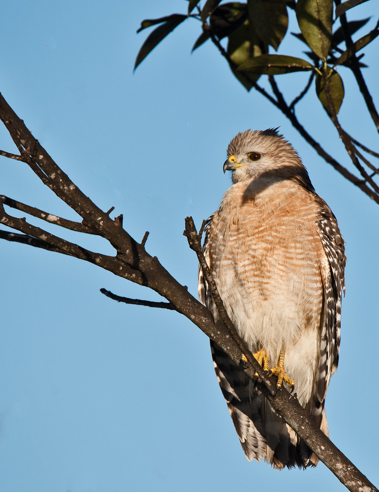 • Location- Location - A-R-M Loxahatchee National Wildlife Refuge<br /> • Red-shouldered Hawk