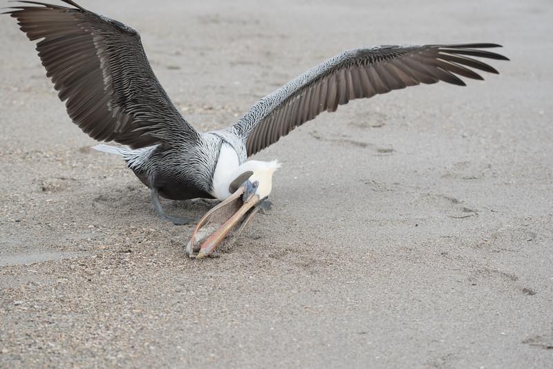 Brown Pelican grabbing a fish to eat