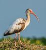 • Location - Stick Marsh<br /> • Juvenile White Ibis