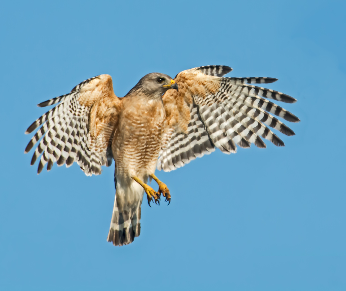• Location - Stick Marsh<br /> • Red Shouldered Hawk coming in for a landing