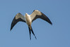• Location - Stick Marsh<br /> • Swallow-Tailed Kite in flight
