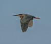 • Location - Stick Marsh<br /> • My first Green Heron in flight I photo