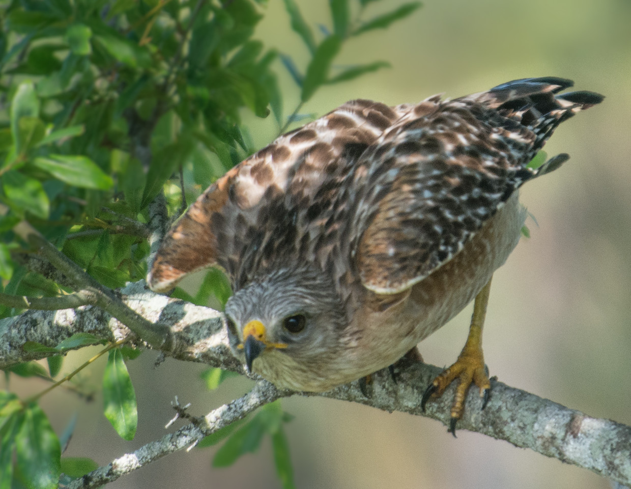 • Location - Stick Marsh<br /> • Red-Shouldered Hawk ready for take off