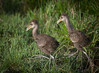 • Location - Stick Marsh<br /> • Aren't these baby Limpkins so cute looking