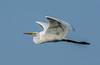 • Location - Stick Marsh<br /> • Great Egret in flight