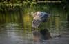 • Location - Stick Marsh<br /> • Great Blue Heron in flight