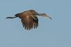 • Location - Stick Marsh<br /> • Limpkin in flight