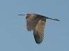 • Location - Stick Marsh<br /> • Tri-colored Heron in flight