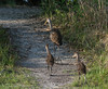 • Location - Stick Marsh<br /> • Mom Limpkin and her two babies on a walk