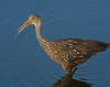• Location - Stick Marsh<br /> • This Limpkin is looking for something to eat