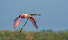 • Location - Stick Marsh<br /> • Roseate Spoonbill bringing twig back to its nest