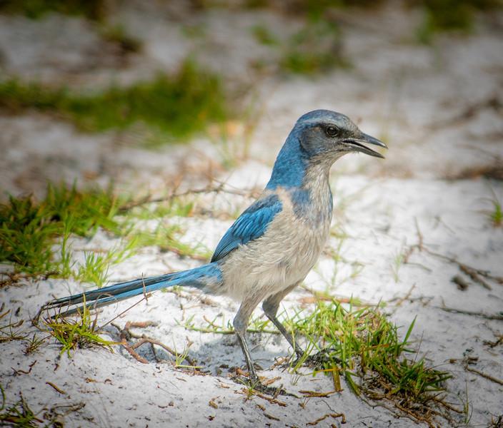 • Location - St. Sebastian River Preserve State Park<br /> • Scrub Jay