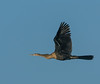 • Location - Stick Marsh<br /> • Anhinga In Flight