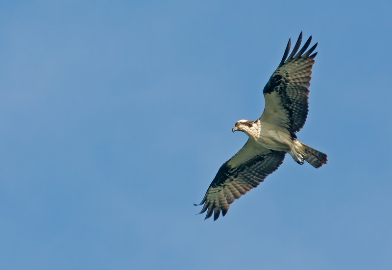 • Location - Stick Marsh<br /> • Osprey In Flight