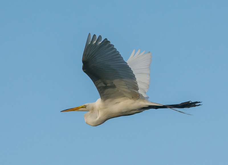 • Location - Stick Marsh<br /> • Great Egret In Flight