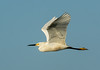 • Location - Stick Marsh<br /> • Snowy Egret In Flight