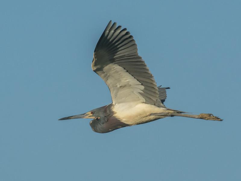 •Location - Stick Marsh<br /> • Tri--colored Heron In Flight
