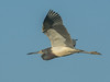 • Location - Stick Marsh<br /> • Tri--colored Heron In Flight