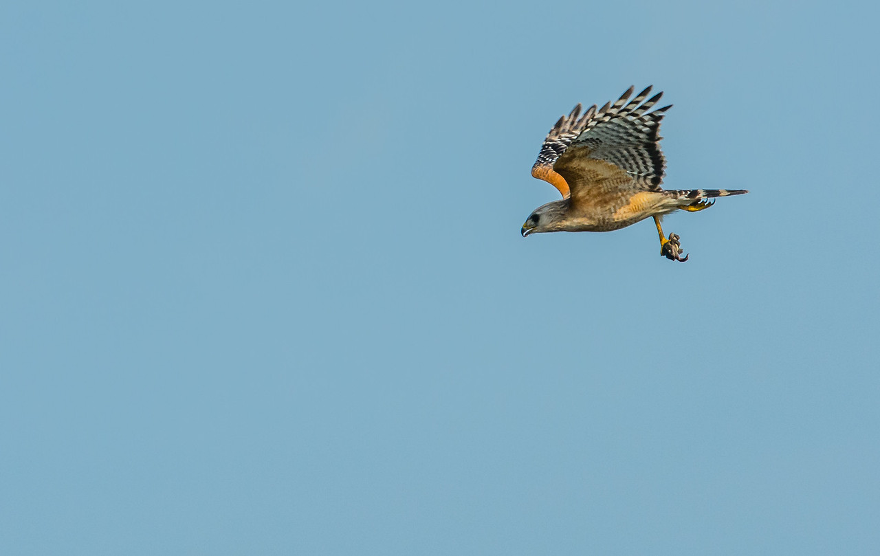 • Location - Stick Marsh<br /> • Red-shouldered Hawk in flight with a meal it just caught in its talon.