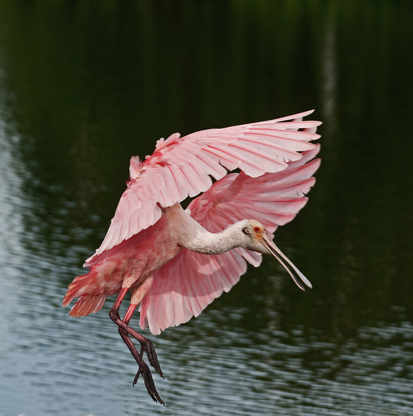 • Location - Stick Marsh <br /> • Adult Roseate Spoonbill coming in for landing