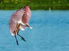 • Location - Stick Marsh <br /> • An immature Roseate Spoonbill coming in for landing