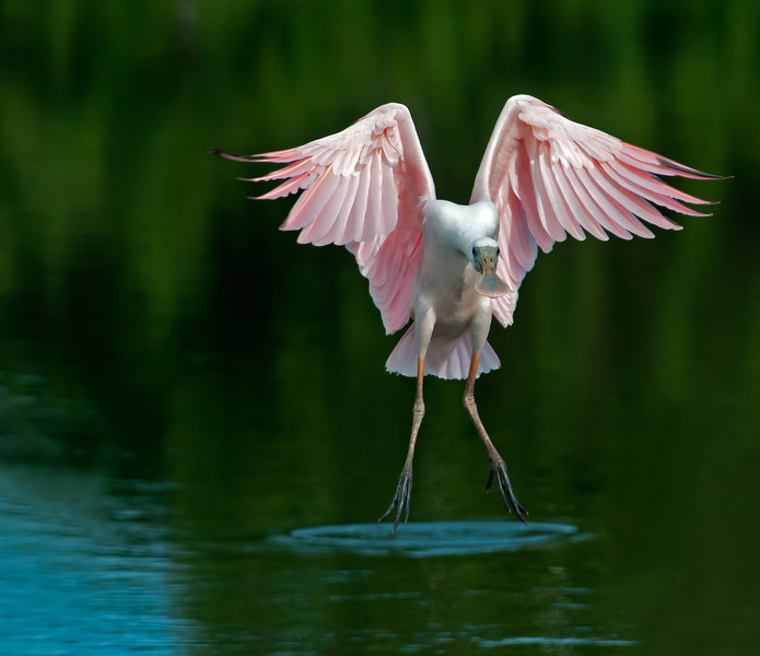 • Location - Stick Marsh <br /> • Immature Roseate Spoonbill coming in for landing