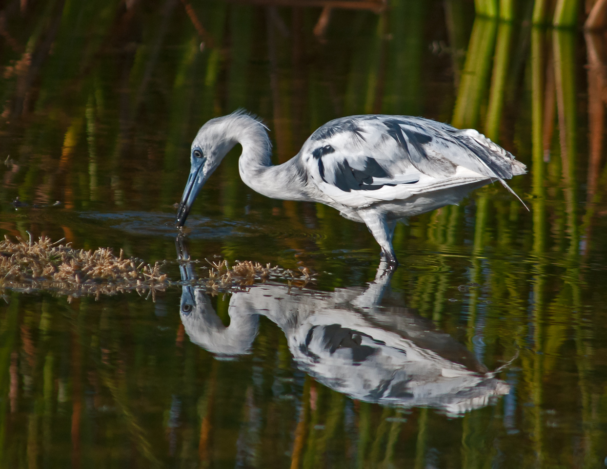 • Location - Viera Wetlands<br /> • Immature Little Blue Heron