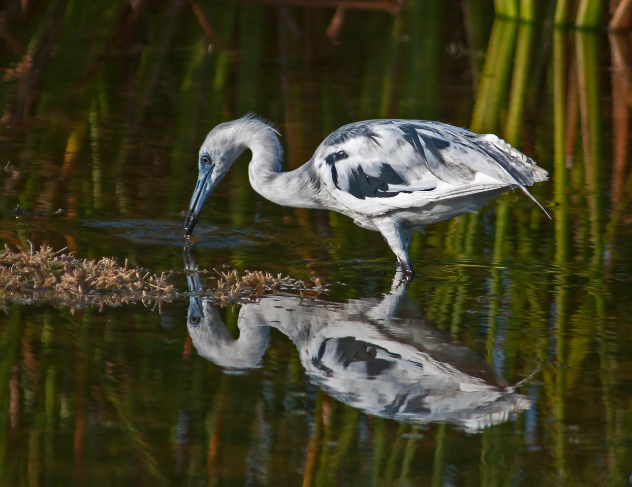 • Location - Viera Wetlands<br /> • Immature Little Blue Heron