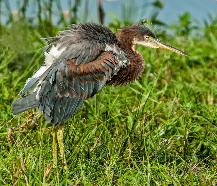 • Location - Stick Marsh <br /> • An immature Tri-colored doing a little shaking