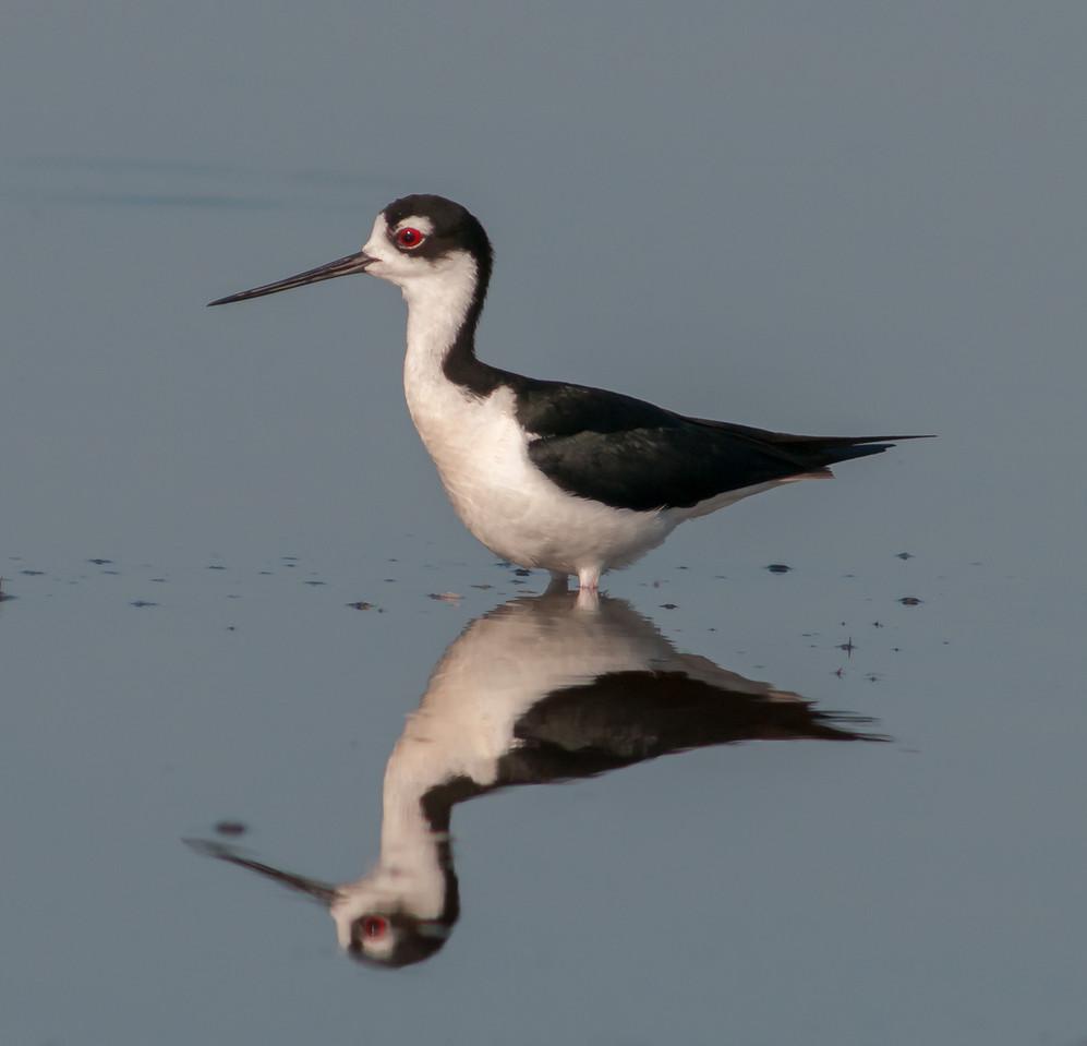 • Location - Viera Wetlands<br /> • Black-necked Stilt