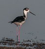 • Location - Viera Wetlands<br /> • Black-necked Stilt