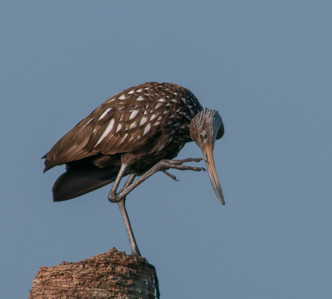 • Location<br /> • Limpkin scratching itself