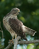 • Location - Stick Marsh <br /> • A red-shouldered Hawk keeping an eye me