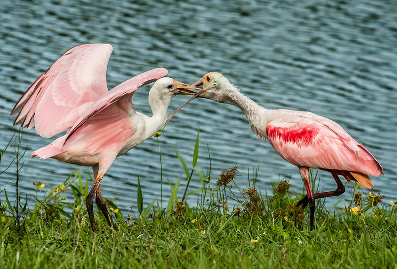 • Location - Stick Marsh <br /> • Immature Roseate Spoonbill eating out its mother's beak
