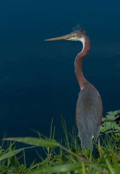 • Location - Stick Marsh <br /> • Immature Tri- Colored Heron