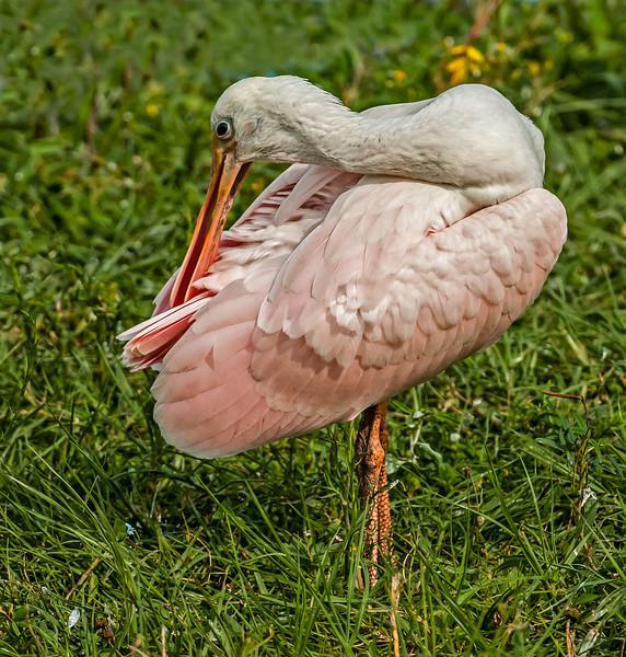 • Location - Stick Marsh <br /> • Immature Roseate Spoonbill preening itself