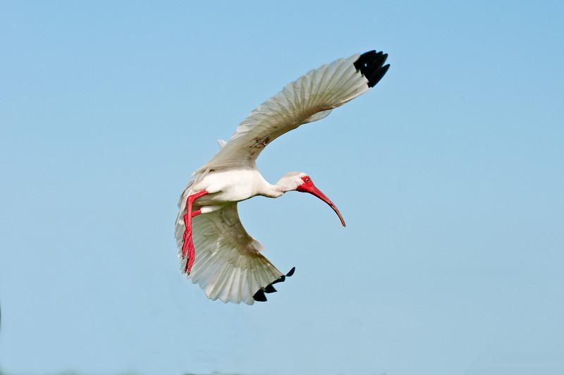 • Location - Stick Marsh <br /> • White Ibis in flight