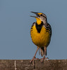 • Location<br /> • Eastern Meadowlark