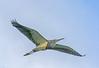 • Location - Stick Marsh<br /> • Tri--colored Heron In Flight