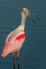 • Location - Stick Marsh<br /> • An adult Roseate Spoonbill posing for me
