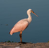 • Location - Stick Marsh<br /> • A portrait of a juvenile Roseate Spoonbill
