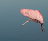 • Location - Stick Marsh<br /> • An adult Roseate Spoonbill coming for a landing